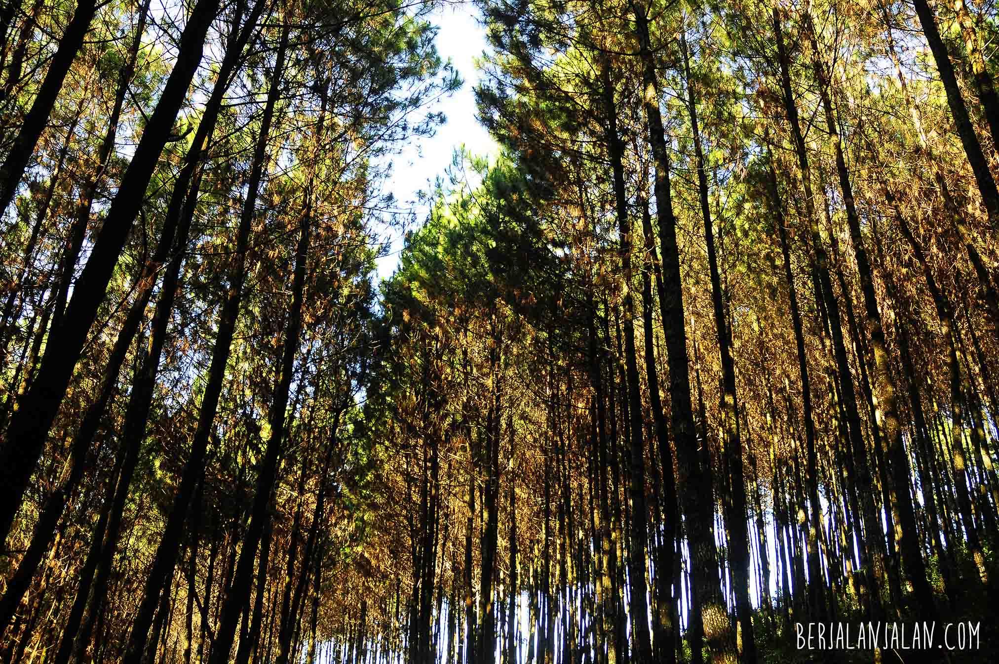 dark, hutan, pinus, pine forest bandung, west java, wonderfull indonesia, visit west java b